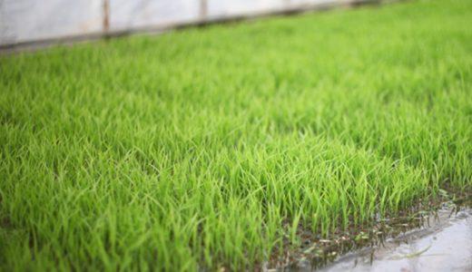 お米の苗も大きくなってきました