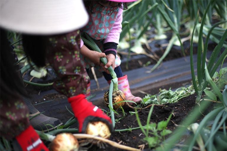 玉ねぎ収穫02