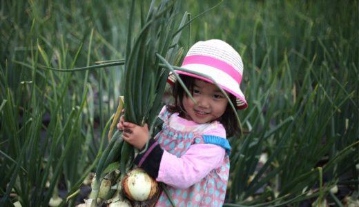 玉ねぎの収穫日