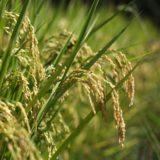 天日干し(はぜ掛け米)のお米が美味しい!今すぐお米を変えるべき理由