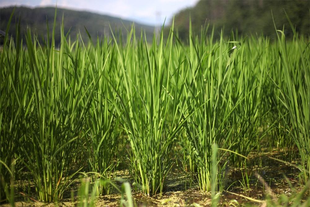 お米の特徴